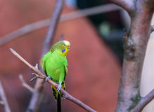Budgerigar of natural coloration is sitting on a branch. Closeup Stock Photography
