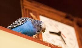 Budgerigar next to the clock. Blue parrot sitting and going to eat hay, decoration of clock Stock Photography