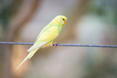Budgerigar. One yellow budgerigar on wire Royalty Free Stock Photography
