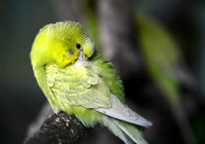 Budgerigar Stock Photo