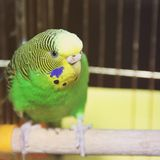 Budgerigar. Parrot in the cage royalty free stock photo