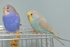 Budgerigar parrot in his cage Royalty Free Stock Image