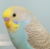 Budgerigar parrot in his cage Royalty Free Stock Photos