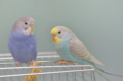 Budgerigar parrot in his cage Stock Photo