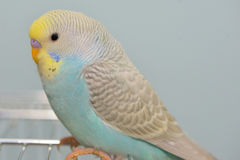 Budgerigar parrot in his cage Stock Images