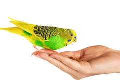 Budgerigar. Parrot isolated on white background. Stock Photography