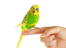 Budgerigar. Parrot isolated on white background. Stock Photos