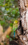 Budgerigar parrot near the nest Royalty Free Stock Image
