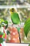 Budgerigar. Parrot near the window stock photo