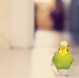 Budgerigar parrot walking on floor. Stock Photography