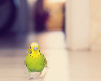 Budgerigar parrot walking on the floor. Stock Image