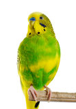 Budgerigar. Parrot. Royalty Free Stock Photography
