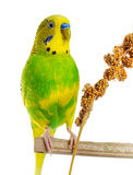 Budgerigar. Parrot. Budgerigar. Parrot on white background Royalty Free Stock Photos