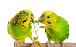 Budgerigar. Parrot. Stock Photography