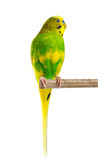 Budgerigar. Parrot. Royalty Free Stock Image