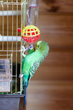 Budgerigar Royalty Free Stock Photography
