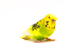 Budgerigar portret. Isolated on a white background stock photo
