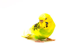 Budgerigar portret. Isolated on a white background stock photos