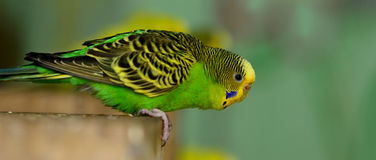 Budgerigar Stock Image