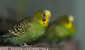 Budgerigar Royalty Free Stock Photos