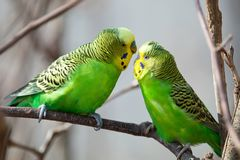 Budgerigar sits on a branch. The parrot is brightly green-colored. Bird parrot is a pet. Beautiful pet wavy parrot stock photos