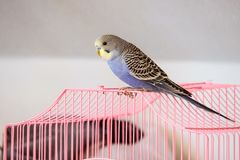 Budgerigar sits outside the pink cage