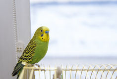 Budgerigar sitting on the birdcage. Royalty Free Stock Photography