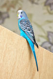 Budgerigar sitting on the door. Royalty Free Stock Images
