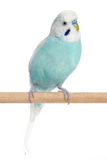 Budgerigar sitting on a perch Stock Photography