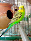 A budgerigar sleeping inside a cage Royalty Free Stock Photography