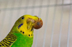 Budgerigar with tumor on the head - malignant tumor. Budgerigar with tumor on the head.Focus point on tumor Stock Photography