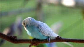 Budgerigar - undulatus Melopsittacus απόθεμα βίντεο