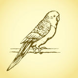Budgerigar. Vector drawing Stock Photography