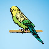 Budgerigar. Vector drawing Stock Images