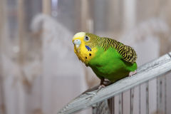 Budgerigar Royalty Free Stock Images