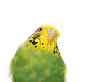 Budgerigar on white background royalty free stock photo