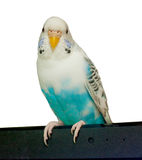 Budgerigar on white background Royalty Free Stock Images