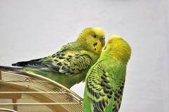 budgerigars χαριτωμένος Στοκ Φωτογραφίες