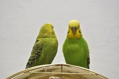 budgerigars милые Стоковые Фото