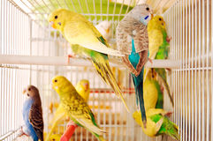 Budgerigars Royalty Free Stock Photography