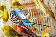 Budgerigars Royalty Free Stock Photos