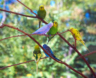 Budgerigars Immagine Stock