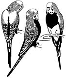 Budgerigars black white Stock Image