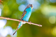 Budgerigars  on branch Royalty Free Stock Photos