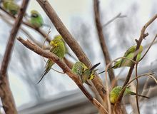 Budgerigars on a branch royalty free stock photo