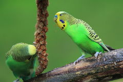 Budgerigars Stock Photography