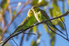 Budgerigars Stock Images