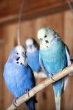 Budgerigars d'animal familier dans la volière images stock