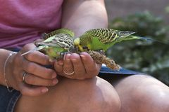 Budgerigars are fed from the hand. Three Budgies are fed from a women with millet in her hand stock photos