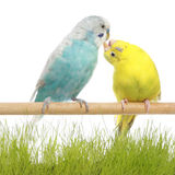 Budgerigars kiss. Budgerigars sit on a branch and kiss. Isolated on a white background Royalty Free Stock Image